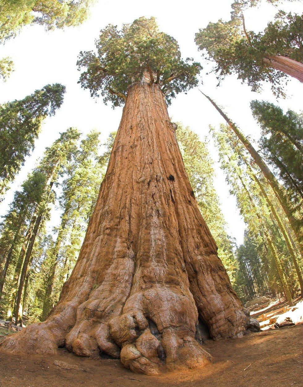 """""""Генерал Шерман"""" - сегодня самое большое дерево на земле"""