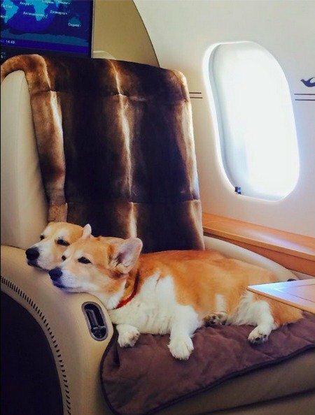 Собаки Шувалова на самолете