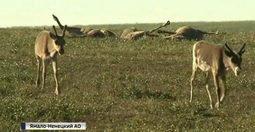 Вспышка сибирской язвы у оленей на Ямале, июль 2016